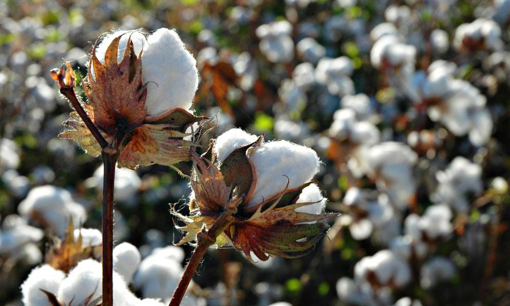 australian-cotton