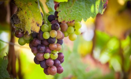 bunch-wine-grapes