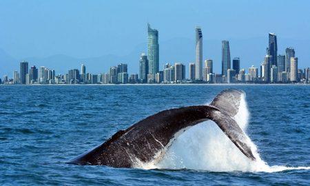 gold-coast-whale