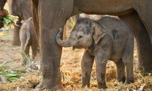 baby-asian-elephant