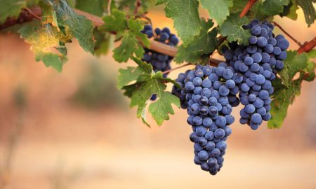 wine-grapes-2