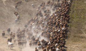 braham-cattle-qld