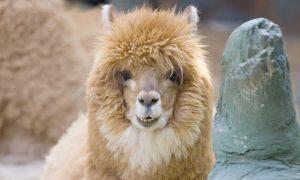 alpaca-smiling