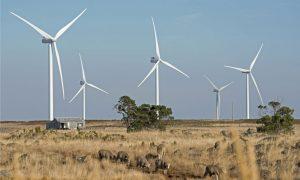 wind-farm-sheep-Victoria