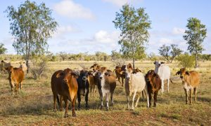 cattle brahman stock image