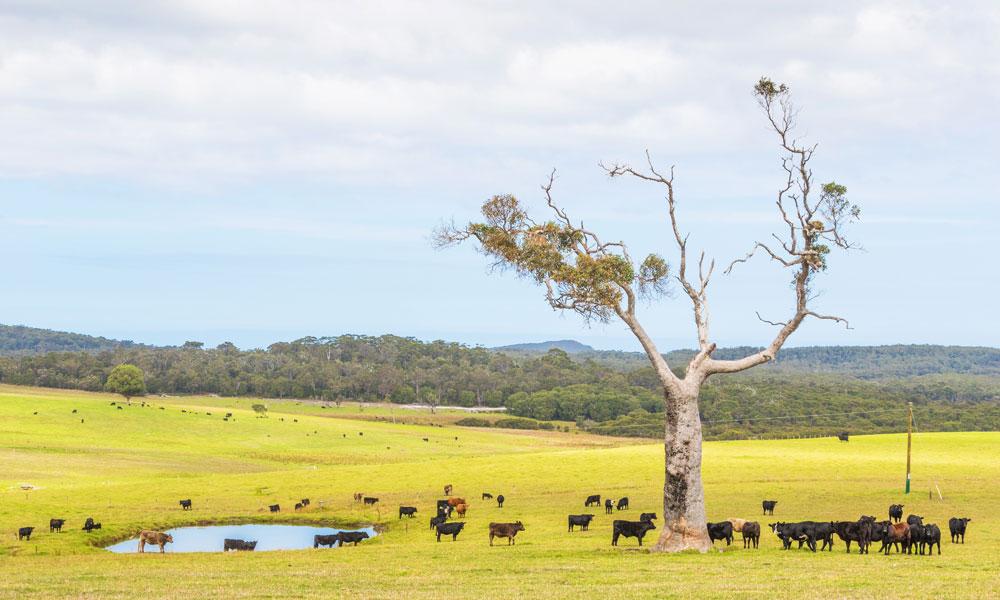 cattle farm WA stock image
