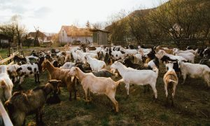 goat farm stock image