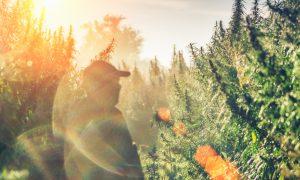 hemp growing stock image
