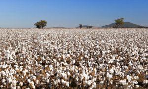 cotton farm stock image