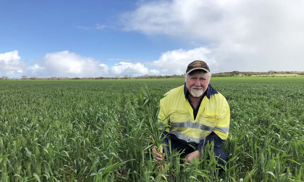 Allan Griffith in Havoc wheat.