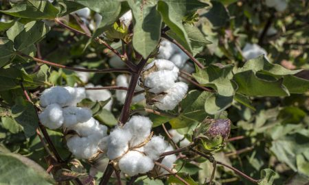 cotton growing stock image