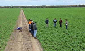 A field walk at the trial site, with Bonito on the left and Hyola 404RR on the right.