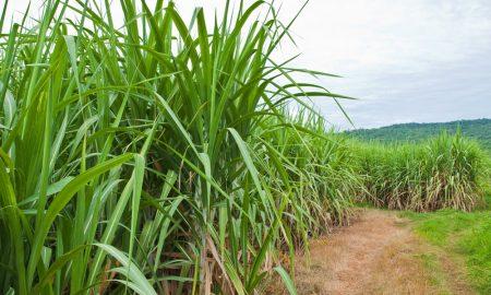 sugar cane field stock image