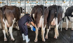 dairy worker stock image