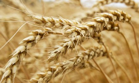 wheat bends stock image