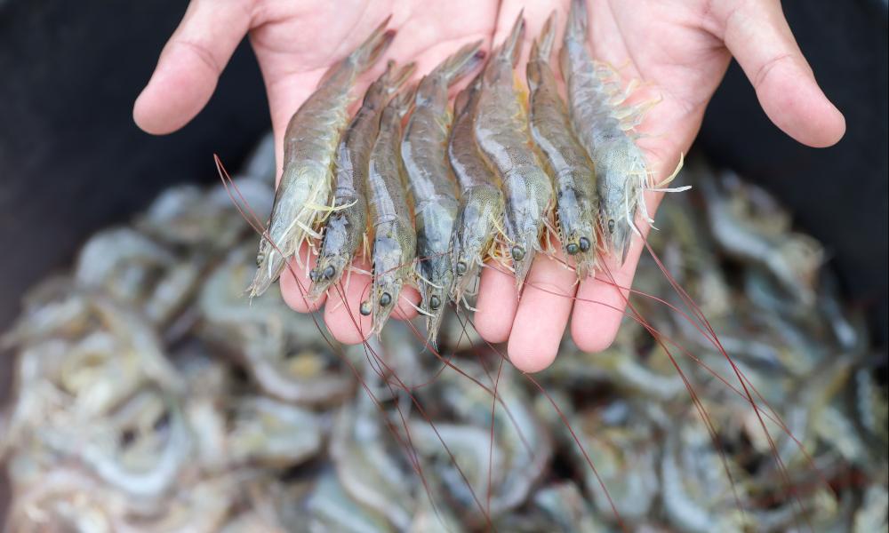 white shrimp stock image