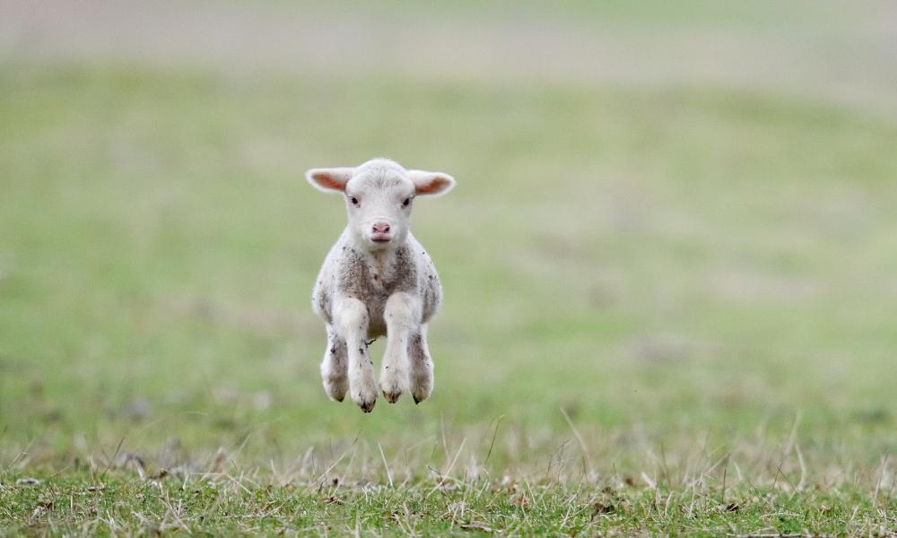 lamb jump stock image