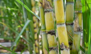 sugarcane cut stock image