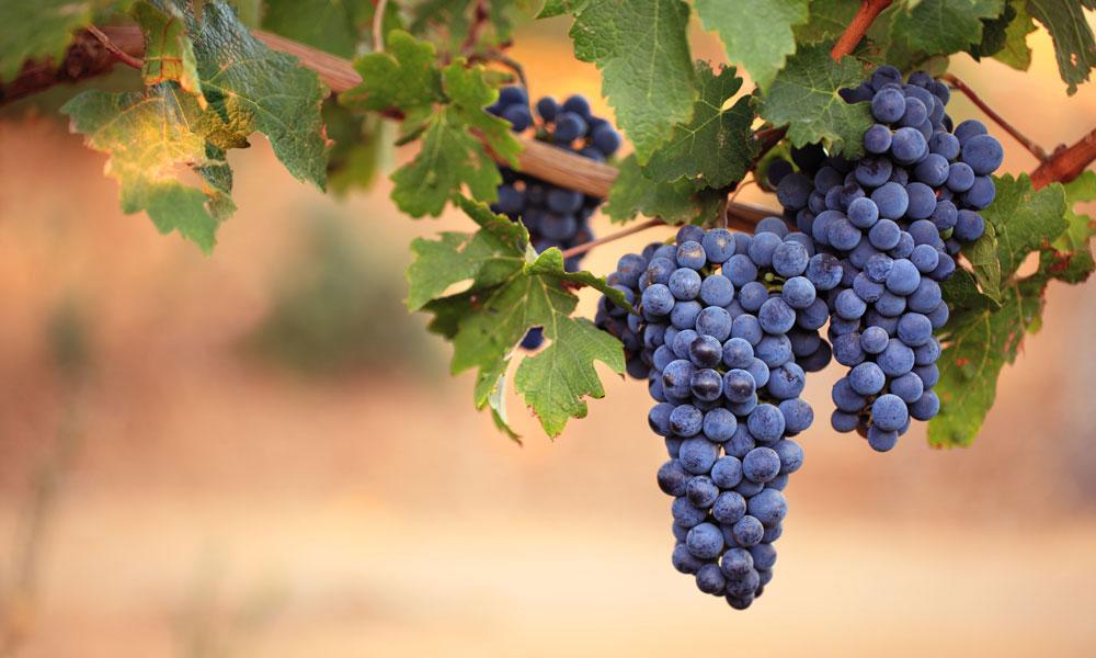 wine grapes stock image