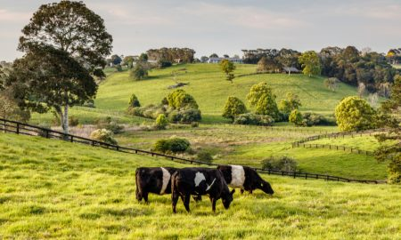 dairy queensland cattle stock image