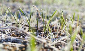 barley winter crop stock image