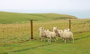 sheep livestock fence stock image