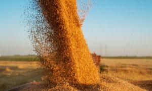 healthy wheat