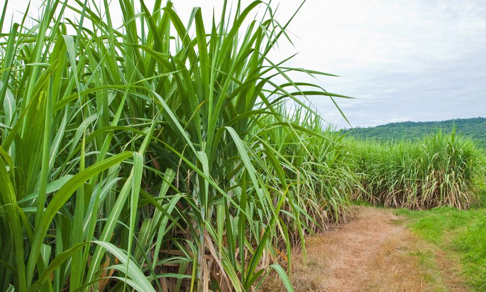 raw sugar exporter