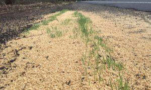 Roadside grain dumping