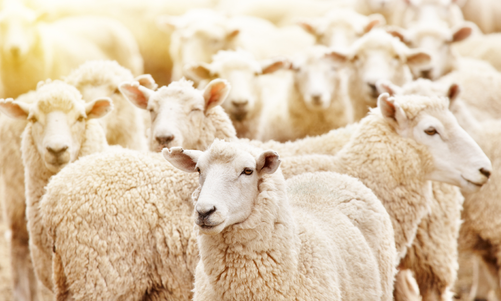 sheep livestock stock image