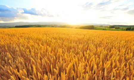barley field farm stock image