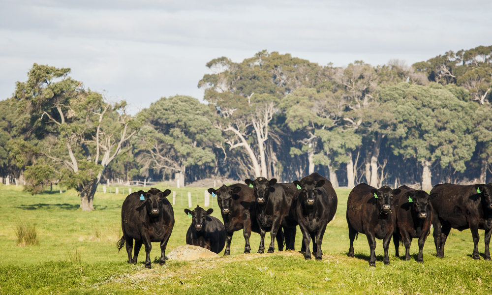 WA beef industry research